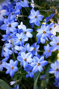 spring starflower - はなにら