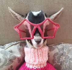 This Sanctuary Takes in Baby Goats and Gives Them Costumes to Make Them Feel Special : Super Cute Animals, Cute Baby Animals, Funny Animals, Duck Costumes, Cute Goats, Baby Goats, Colorful Animals, Oui Oui, Pet Clothes