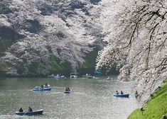 [Movie] Breathtaking Blossoms at Chidorigafuchi – Tokyo's Favorite Sakura Spot Cherry Blossom Season, Japan Travel Guide, Tiny Flowers, Train Station, Tokyo, City, Tokyo Japan, Small Flowers
