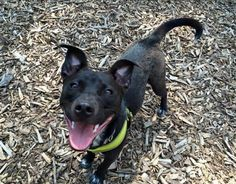 Meet Liberty, a Petfinder adoptable Australian Cattle Dog (Blue Heeler) Dog | Stroudsburg, PA | Meet Liberty, a ten month old cattle dog mix who is looking for her forever home! She's loving,...