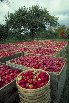 Annapolis Valley Apple Harvest Nova Scotia - Alan went apple picking there when he was a Sea Cadet Garden Great Ideas, Canadian Cuisine, Apple Harvest, Autumn Harvest, Annapolis Valley, Growing Fruit Trees, Canadian Things, Apple Crates, Honeycrisp Apples