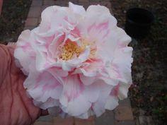 Camellia japonica 'Elizabeth Dowd Mystique'