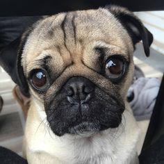 """I'm cute, feed me"" -#lovepugever #pug #pugsofinstagram #pugs #pugpuppies #pugpuppy #puggle #puglia #puglife #pugilato #puglicious #puglive #pugdaily #pugchat #pugsrock #pugrescue #pugpower #pugster #pughugs #pugsproud #pugliatop #pugtohug #puglove #puglyfe"