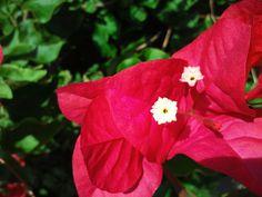 detalle de la flor de la buganvilla Bougainvillea, Rose, Nature, Plants, Flowers, Pink, Roses