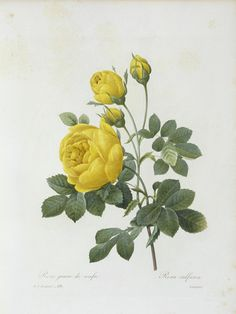 Tea Rose (Yellow Rose) -- Pierre-Joseph Redouté.