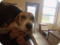 Joplin, MO - Labrador Retriever Mix. Meet Bubbs 84656, a dog for adoption. http://www.adoptapet.com/pet/11753838-joplin-missouri-labrador-retriever-mix