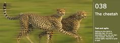 Cliche #38: The cheetah. Fast and agile. Getting to this cliché is definitely fast. It's word association time, you say fast - I say cheetah. The lack of mental agility required is quick to spot.