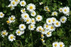Mini daisies - summer