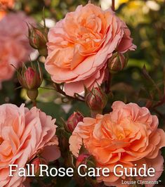 61 Best Rose Care Articles Images Rose Care Rose Heirloom Roses