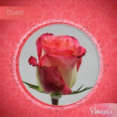 Beautiful pink and white shades have combined to transform our Duett. Meet the rest of the beautiful combination of shades here: www. Organic Roses, Watermelon, Rest, Shades, Vegetables, Pink, Beautiful, Food, Veggies