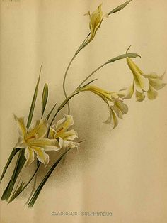 Gladiolus sulphureus - circa 1890   From our collection of b…   Flickr