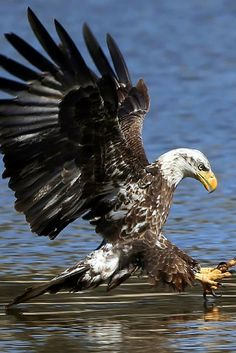 Going in for the hook! #BaldEagle by #DJCraig
