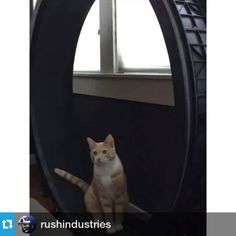 Snuggie Babby getting his cardio this morning on the @one_fast_cat wheel.
