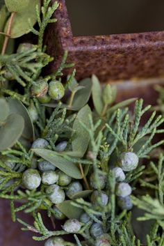 ♥ juniper This herb also has Moon aspects--as a diuretic, for instance--and it would make a good herb for the Dark of Moon, because among its many fragrances (pine predominating), it contains camphor, a Moon scent, and it is a beautifully dark color. It's also in Fire of Azrael incense, which is made of equal parts of juniper berries, red sandalwood, and cedarwood. Boiling destroys the essential oils.
