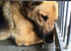 Depressed German shepherd https://www.facebook.com/649241055113967/photos/a.754881631216575.1073741838.649241055113967/919322831439120/?type=1&theater