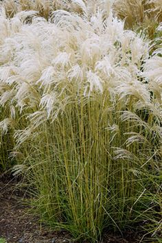 Miscanthus sinensis 'Kleine Fontaine' - I think it would be interesting to buy many potted live plants for a wedding, then reuse them in your own garden after the celebration, that way, they would be an investment instead of simply decor