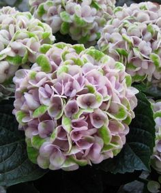 Hydrangea Macrophylla, Diy Home Decor, Utca, Hydrangeas, Revolution, Flowers, Plants, Inspiration, Biblical Inspiration