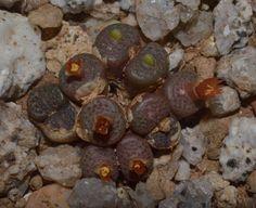 Conophytum armianum (Umdaus) Septembre 2013   Conophytum armianum S.A.Hammer (1988)   Conophytum, Lithops & Co
