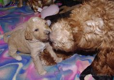 Baby and Mommy Kisses!!!   Australian Labradoodle Mr White Boy and Mommy Jovi.