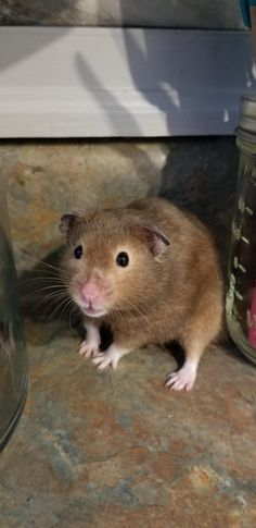 This sub is dedicated to hamsters and their humans. Hamsters, Help Me, Pets, Kitchen, Animals, Cuisine, Animaux, Kitchens, Animal