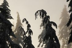 Ghost Forest by Donald Sewell on Capture Inland Northwest // Winter shapes revealed, the Sun starts breaking thru the Colville National Forest on South Baldy WA. Print ID North West, Folk, Lion Sculpture, Thankful, Shapes, Sun, Statue, Winter