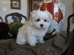 Heidi | Female Maltese For Sale in Dallas TX | 4038074841 | 4038074841 | Dogs on Oodle Marketplace