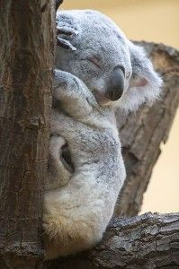 Protect Koalas from Deforestation