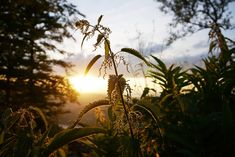 Ortie et coucher de soleil