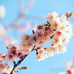 【kkm2916】さんのInstagramをピンしています。 《5 Feb.2017 ʚSunɞ * おはよぅございます(*˙˘˙*)ஐ 春を見つけてきました♫︎ 桜🌸っていうだけでテンション上がります(*´︶`*)❤︎ 素敵な休日をお過ごしください•*¨*•.¸¸♬︎ * #寒桜 #pink #cherryblossoms #はなまっぷ #wp_flower #whim_fluffy #myheartinshots #symply_flowers #lovely_flowergarden #LOVES_GARDEN #eye_spy_flora #wt_florals #phx_flowers #superb_flowers #flower_special_ #Airy_pics #rainbow_petals #_international_flowers_ #QuintaFlower #KINGS_FLORA #bns_flowers #igscflowers  #top_favourite_flowers #ponyfony_flower…