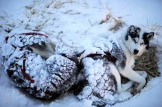 FILE - Wolvie and Roscoe stir as Karen Ramstead prepares to feed them in Nikolai, Alaska, during the Iditarod Trail Sled Dog Race on Wednesday, March 7, 2012 . Photo: AP