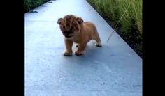 Leeuwen welpje doet zijn uiterste best om gevaarlijk te grommen - Te zoet voor woorden