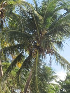 Beautiful Palm Tree with Coconuts