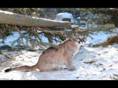 TWS Resident Spotlight: Cougar Cubs- Noah, Langley, Carlo and Andre Cat Gif, Cubs, Spotlight, Videos, Animals, Bear Cubs, Animales, Puppys, Animaux
