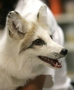 El Paso Zoo officials are a baffled how Luna, a rare leucistic fox, ended up in southern Texas. She will be moved to a zoo in Roswell, N.M. Leucism is a condition characterized by reduced pigmentation.