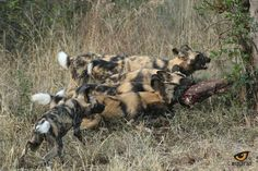 Baiting Painted Dogs in iMfolozi Game Reserve