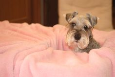Happy With Edy*.... How adorable is this, a darling schnauzer pup all snuggled up in a blanket with his cute little head looking out **