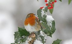 No Christmas scene would be complete without a jolly robin redbreast