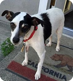 Moorpark, CA - Jack Russell Terrier. Meet LuLu (Los Alamitos), a dog for adoption. http://www.adoptapet.com/pet/14928611-moorpark-california-jack-russell-terrier