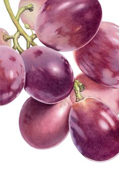 Ann Swan | COLORED PENCIL | Muscatel Grapes