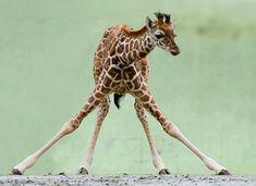 "Baby Giraffe - ""MAMA - HELP!"""
