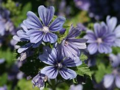 Algier-Malve Primley Blue' - Malva sylvestris 'Primley Blue'