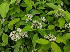 Cornus foemina Mill. ssp. racemosa - W