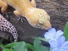 Videl/Female Jungle het Tremper Leopard Gecko