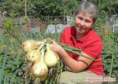 Как вырастить крупный лук - личный опыт  Сегодня в моем огороде гости. Возле луковых грядок вопросы посыпались со всех сторон: «А это что у вас за сорт? Когда садите? Как ухаживаете? Чем кормите?