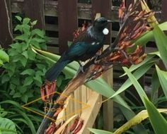 NATIVE TUI IN THE GARDEN THIS SPRING SUNDAY – HAVELOCK NORTH, NEW ZEALAND…