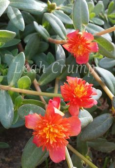 PORTULACA Beautiful Flowers, Plants, Cactus, Nature, Planting Flowers, Flowers, Plant Pictures