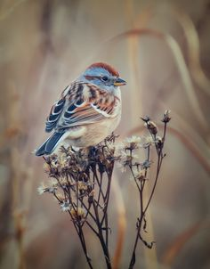 American Tree Sparrow Feeding on Seeds.  Click for the full story.