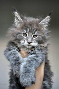 Maine Coon of Superbia - Suberbias C-Kitten - Superbias Caramia