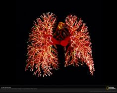 Cast of human lungs - Photograph by Martin Dohrn/Royal College of Surgeons/Science Photo Library