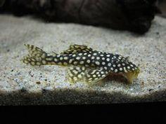 圖檔 Plecostomus, Freshwater Fish, Fresh Water, Aquarium, Pets, Animals, Goldfish Bowl, Animales, Animaux